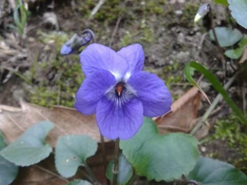 violetta piccola